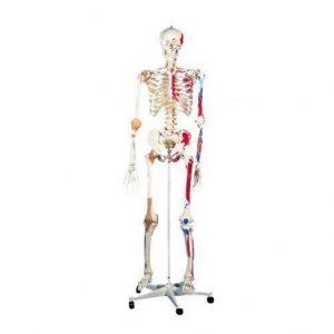 esqueleto-de-lujo