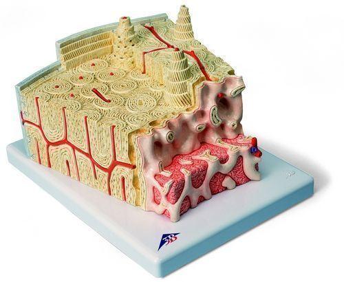 3B MICROanatomy™ Estructura de los huesos - A79