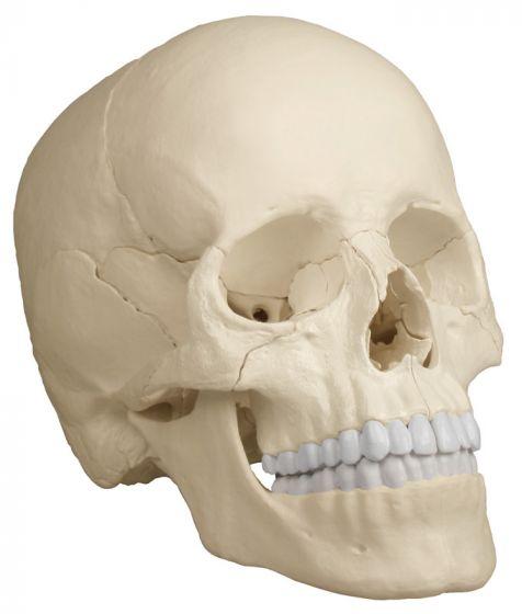 Cráneo articulado- Versión Anatómico, 22 partes R4701 Erler Zimmer
