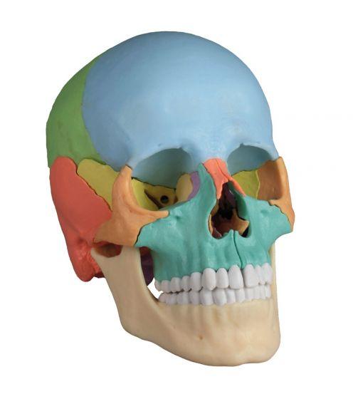 Cráneo humano articulado, 22 partes R4708 Erler Zimmer