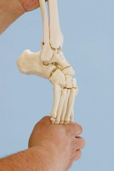 Esquéleto de pie con inserciones del tibia y de la fibula, flexible Erler Zimmer
