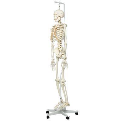 Esqueleto clásico Stan, en soporte colgante de 5 patas A10/1