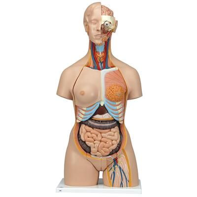 Super-torso bisexuado con espalda abierta, 28 partes 3B - B35