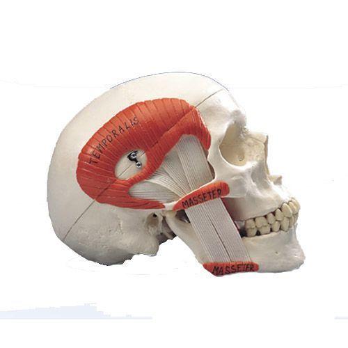 Cráneo funcional con musculatura para la masticación, 2 partes 3B scientific A24