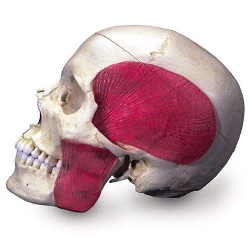 Cráneo combinado transparente/huesos, 8 partes 3B scientific A282