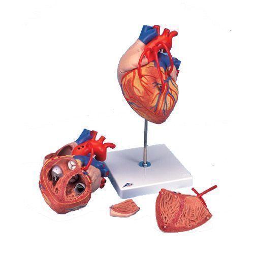 Corazón con bypass, 2 veces el tamaño natural, de 4 piezas 3B - G06
