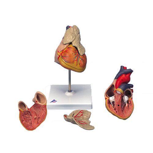 Corazón clásico con timo, de 3 piezas 3B scientific G08/1