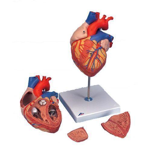 Corazón, 2 veces su tamaño natural, de 4 piezas 3B scientific G12
