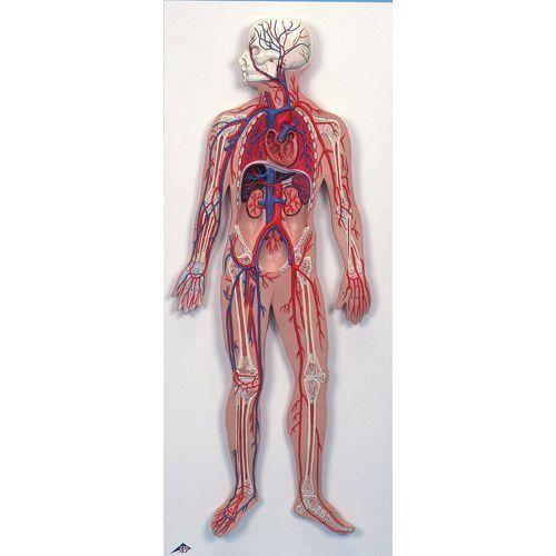 Sistema circulatorio humano 3B scientific - G30