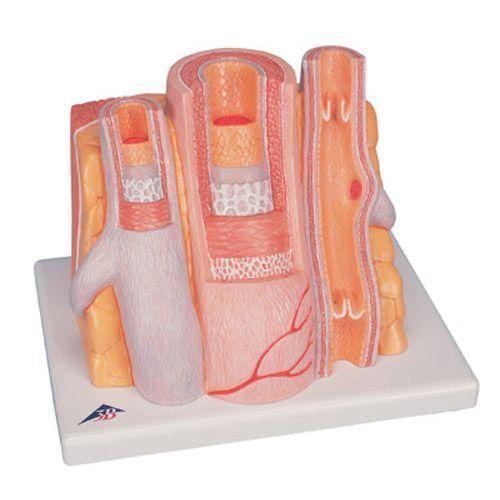 3B MICROanatomy -Arteria y Vena 3B scientific - G42