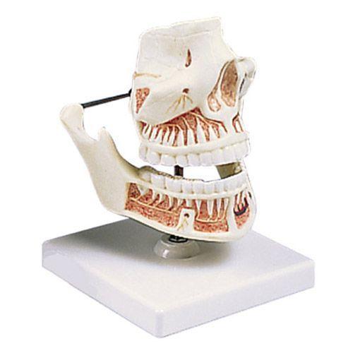 Dentadura de adulto 3B scientific VE281
