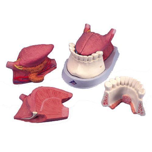 Modelo de la lengua, 4 piezas 3B scientific T12010