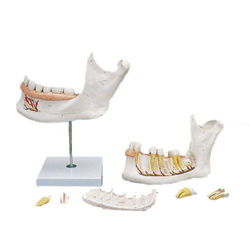 Mitad de la mandíbula inferior, 3 veces su tamaño natural, 6 piezas 3B - D25