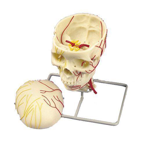 Cráneo neurovascular 3B scientific W19018