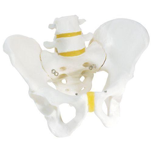 Esqueleto de la pelvis, masculino 3B scientific A60
