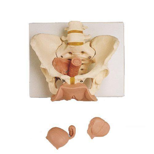 Esqueleto del Pelvis femenino con  órganos genitales 3B scientific 3 piezas