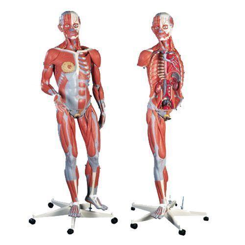 Figura Femenina con Músculos, desmontable en 23 piezas 3B scientific B51