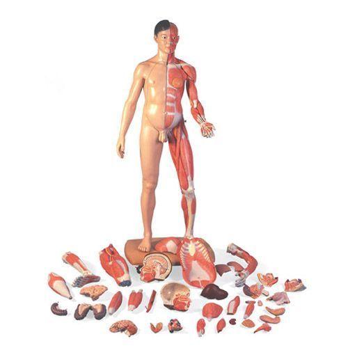 Figura corporal completa asiática de doble sexo, 39 partes B52 3B scientific