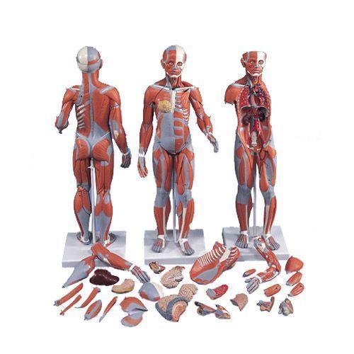 Figura Femenina Completa con Músculos, desmontable en 21 piezas 3B scientific B56