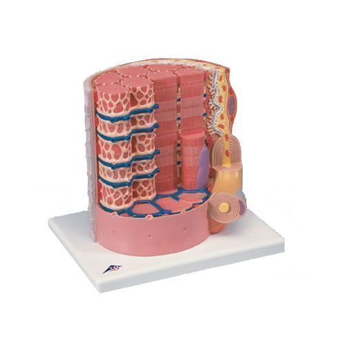 3B scientific MICROanatomy™ Fibra muscular - a 10.000 aumentos B60