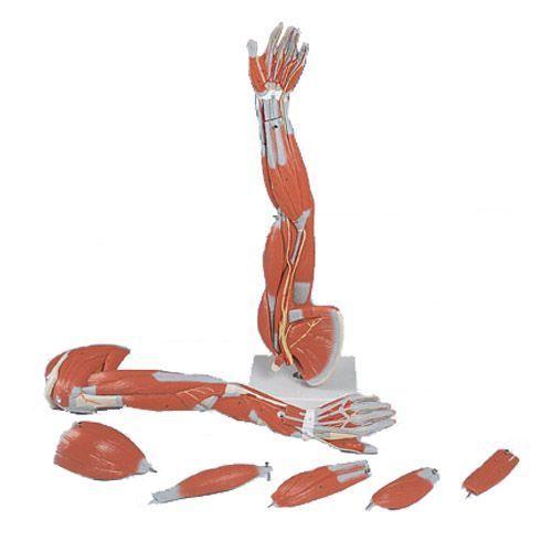 Brazo con músculos diseccionables, desmontable en 6 piezas 3B scientific M10