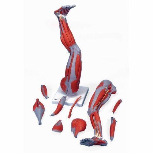 Pierna con músculos diseccionables, desmontable en 9 piezas 3B scientific M20
