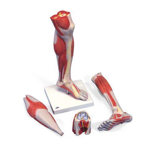 Pierna con músculos y con rodilla de lujo, 3 partes M22 3B scientific