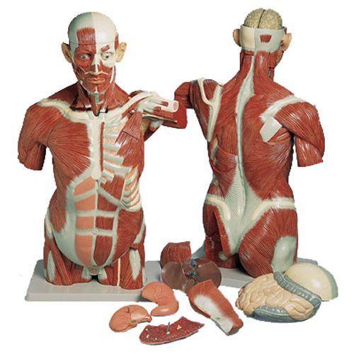 Torso con músculos, de tamaño natural, 27 partes 3B scientific VA16