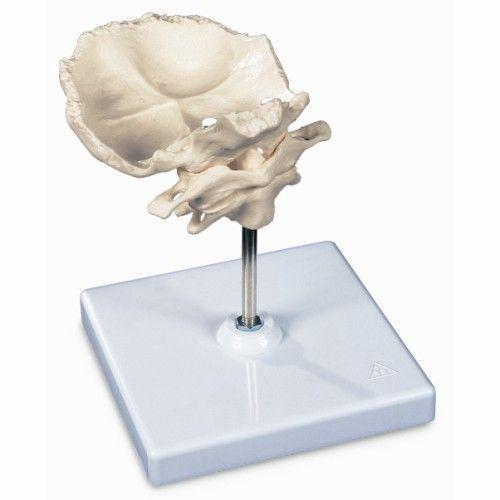 Atlas y axis con lamina horizontal del occipital Montado sobre soporte, desmontable. 3B - A71/5