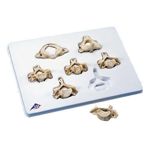 Equipo con 7 vértebras cervicales 3B scientific A790