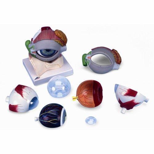 Ojo, con párpado y sistema lagrimal, 5 veces su tamaño natural, 8 piezas 3B scientific F12