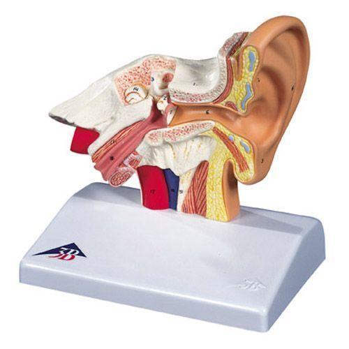 Modelo del oído para el escritorio, 1,5 veces su tamaño natural  3B scientific - E12