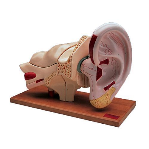Oído, 5 veces su tamaño natural, 8 piezas 3B scientific W42514