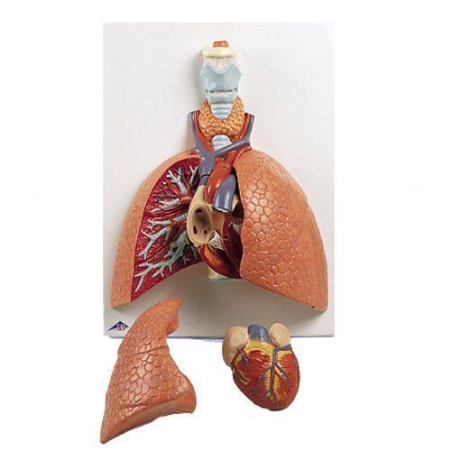 Modelo del pulmón, 5 piezas 3B scientific VC243