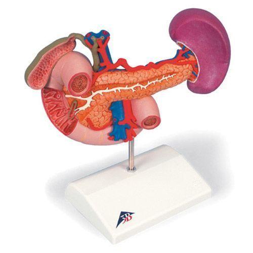 Órganos posteriores del abdomen superior - K22/2 3B scientific