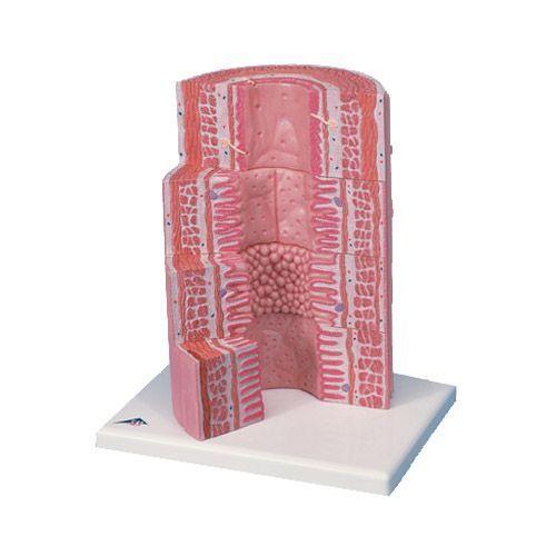 3B scientific MICROanatomy™ Tracto digestivo - a 20 aumentos K23