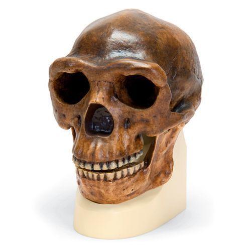 Cráneo antropológico erectus pekinensis Sinanthropus VP750/1 3B scientific