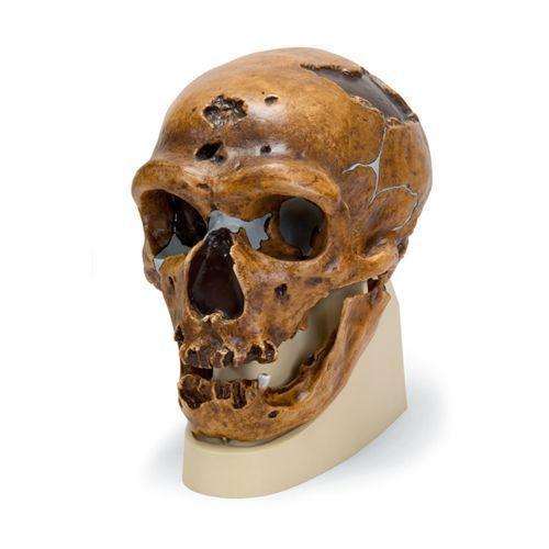 Cráneo antropológico – La Chapelle-aux-Saints VP751/1 3B scientific