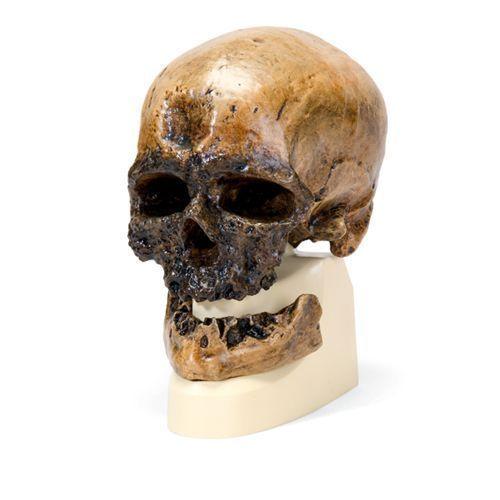 Cráneo antropológico – Cro-Magnon VP752/1 3B scientific