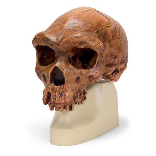 Cráneo antropológico – Broken Hill o Kabwe VP754/1 3B scientific