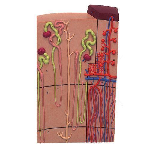 Nefrones y conductos sanguíneos, 120 veces su tamaño natural K10/1
