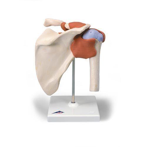 Modelo funcional de la articulación del hombro 3B scientific A80/1