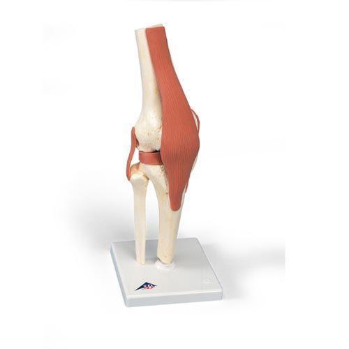 Modelo funcional de la articulación de la rodilla 3B scientific A82/1