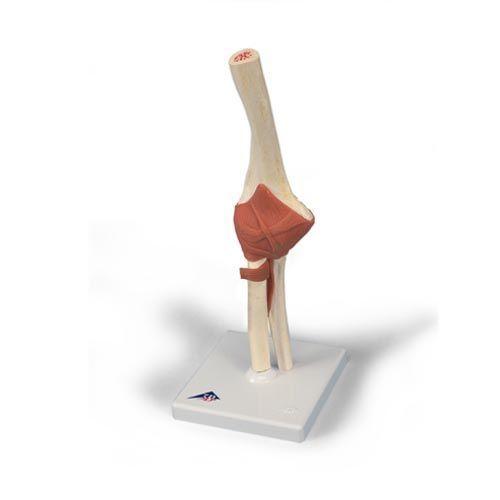 Modelo funcional de la articulación del codo de lujo 3B scientific - A83/1