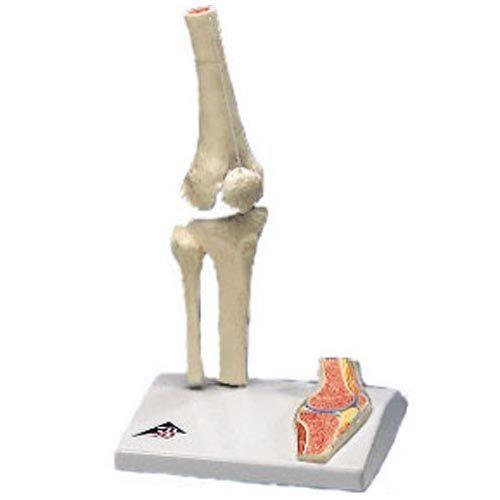 Mini-articulación de la rodilla con corte transversal, sobre base 3B Scientific A85/1