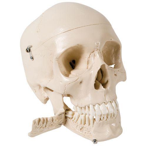 Cráneo con dientes para hacer extracciones, 4 partes W10532