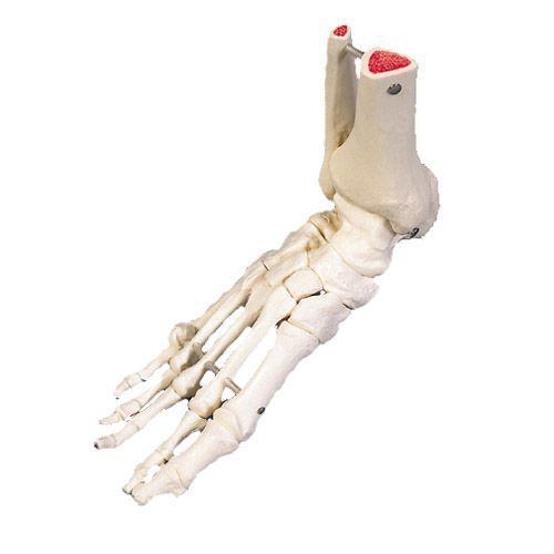 Esqueleto del pie con partes de tibia y fibula articulado en alambre 3B Scientific A31R