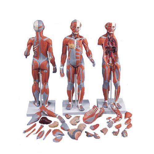 Figura Completa de Doble Sexo con Músculos, con órganos internos, desmontable en 33 piezas 3B - B55