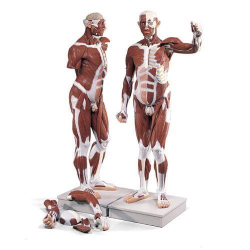Figura muscular masculina de tamaño natural, desmontable en 37 piezas VA01