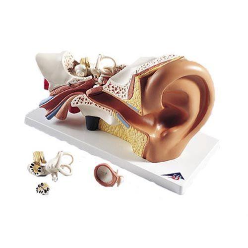 Oído, 3 veces su tamaño natural 3B scientific 4 piezas E10